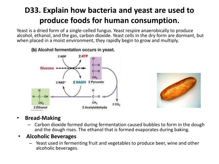D33. Explain how bacteria and yeast are used to produce foods for human consumption.