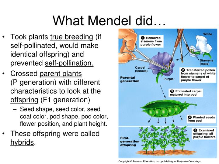 What Mendel did…