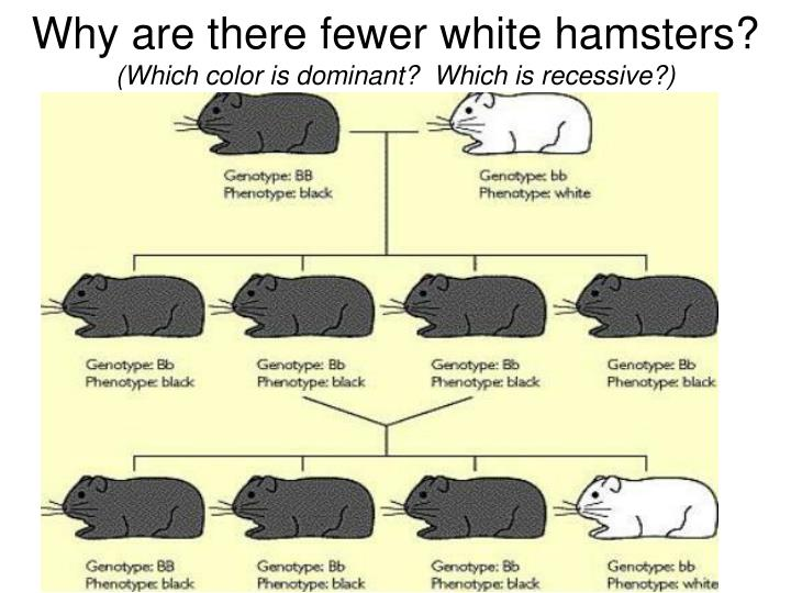 Why are there fewer white hamsters?