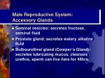 male reproductive system accessory glands
