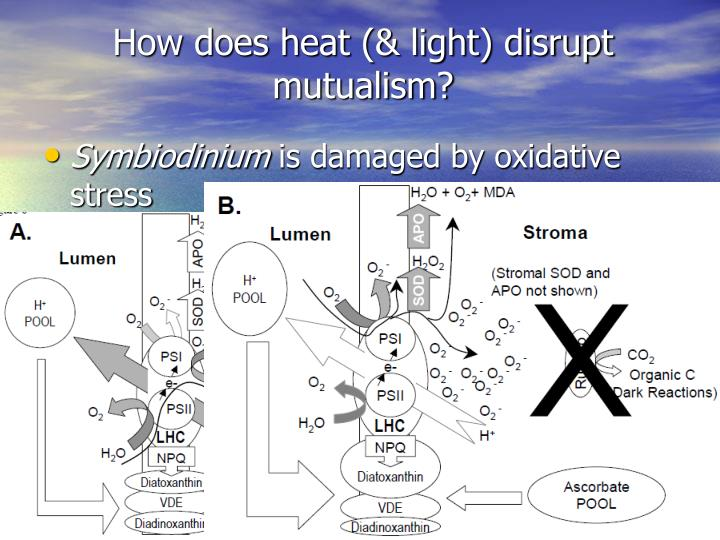 How does heat (& light) disrupt mutualism?