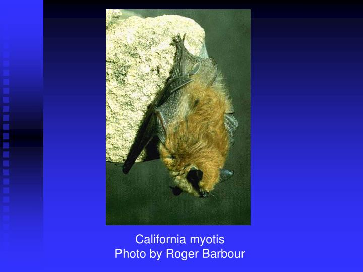 California myotis