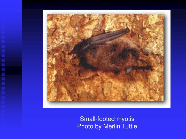 Small-footed myotis
