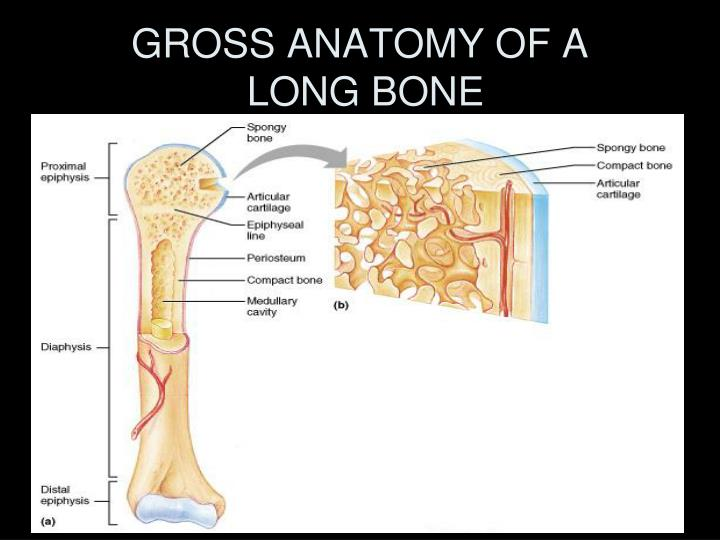 GROSS ANATOMY OF A