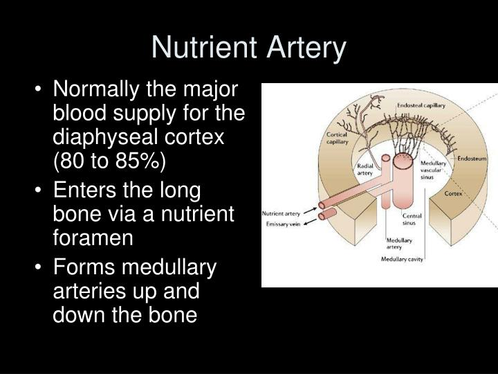 Nutrient Artery