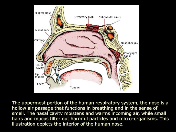 The uppermost portion of the human respiratory system, the nose is a hollow air passage that functions in breathing and in the sense of smell. The nasal cavity moistens and warms incoming air, while small hairs and mucus filter out harmful particles and micro-organisms. This illustration depicts the interior of the human nose.