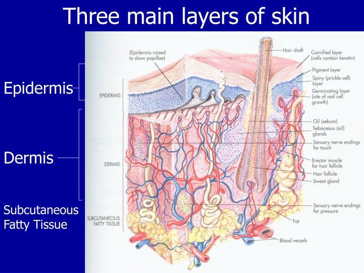 Three main layers of skin