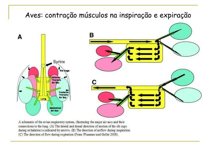 Aves: contração músculos na inspiração e expiração
