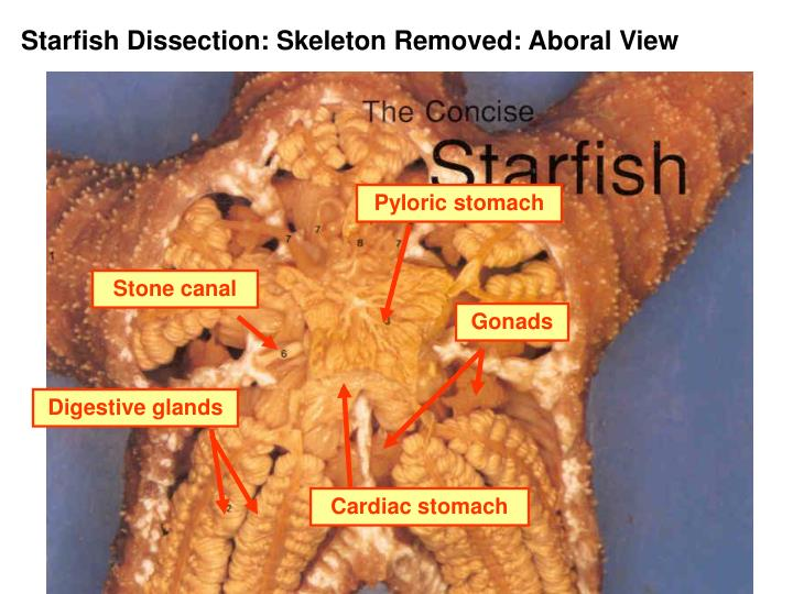 Pyloric stomach