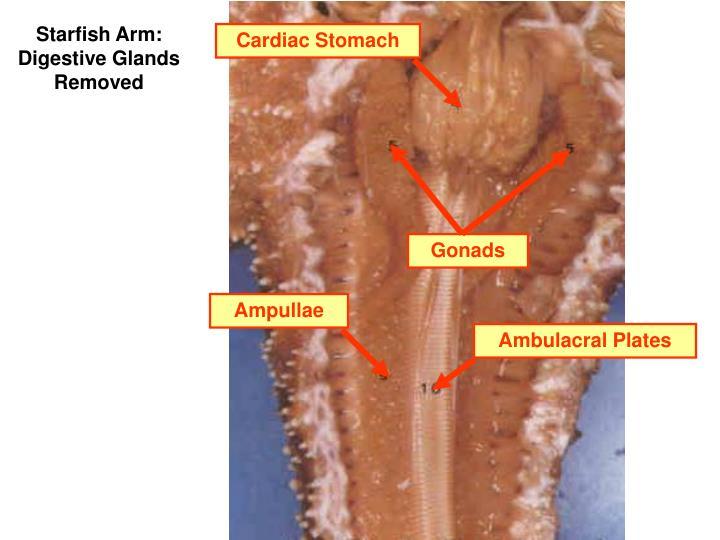 Cardiac Stomach
