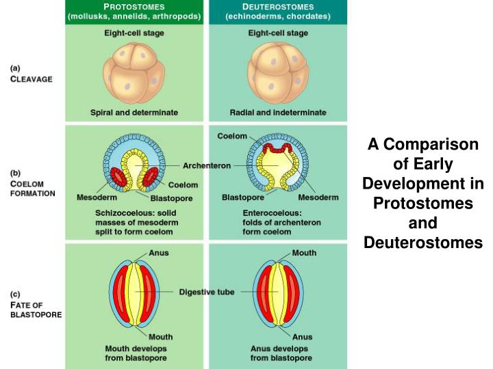 A Comparison of Early Development in Protostomes and Deuterostomes