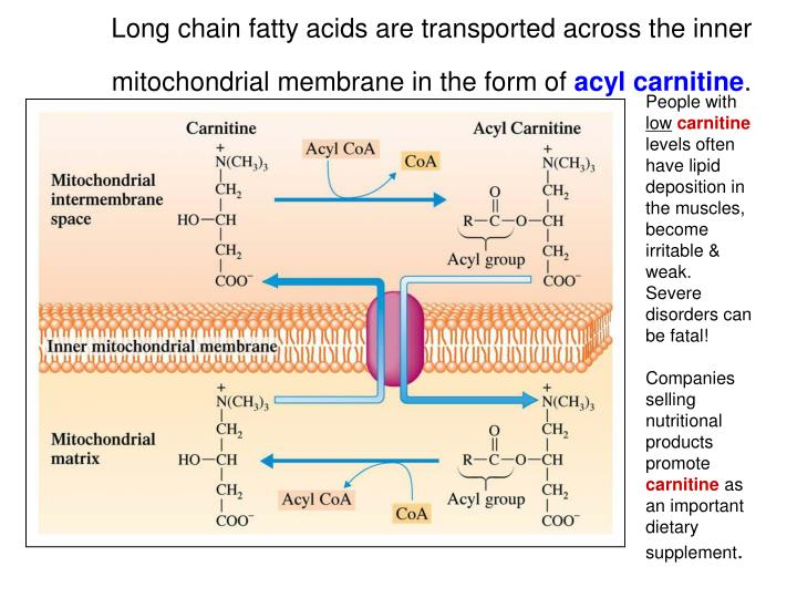 Long chain fatty acids are transported across the inner mitochondrial membrane in the form of