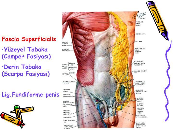 Fascia Superficialis