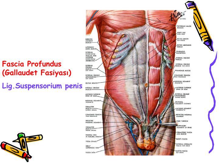 Fascia Profundus (Gallaudet Fasiyası)