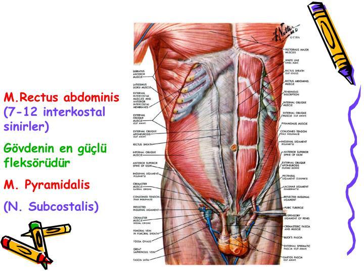 M.Rectus abdominis