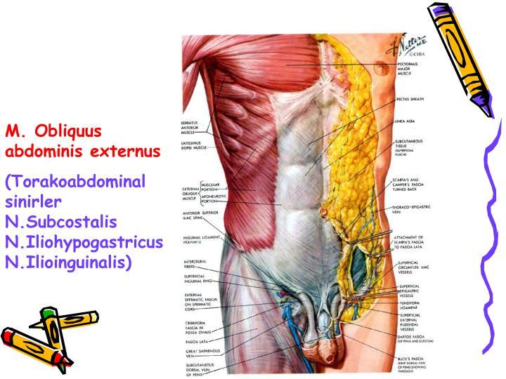 M. Obliquus abdominis externus