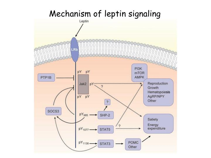 Mechanism of leptin signaling