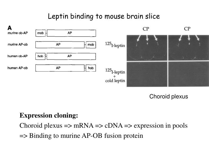 Leptin binding to mouse brain slice