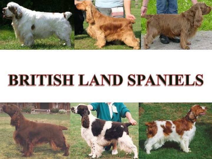 BRITISH LAND SPANIELS