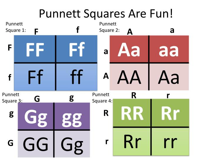 Punnett Squares Are Fun!