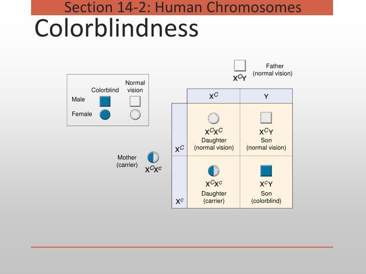 Section 14-2: Human Chromosomes