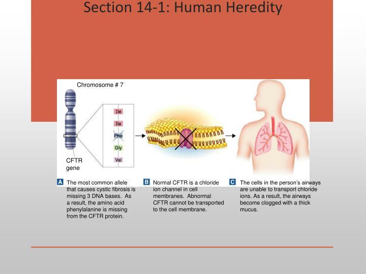 Section 14-1: Human Heredity