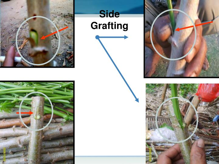 Side Grafting