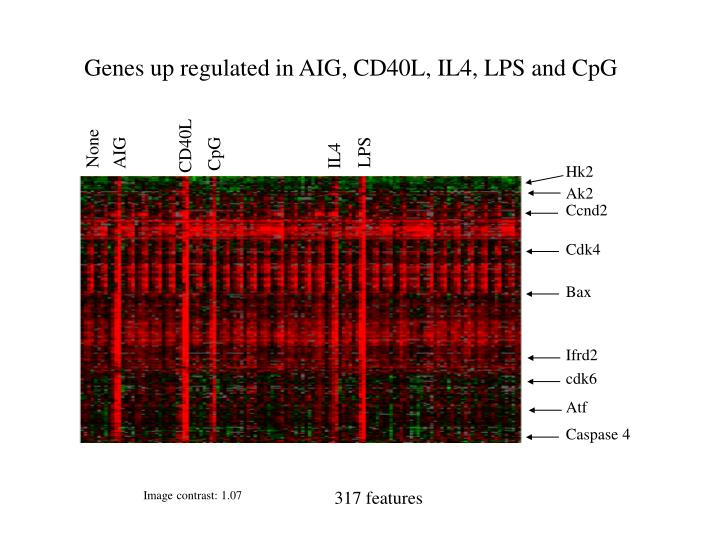 Genes up regulated in AIG, CD40L, IL4, LPS and CpG