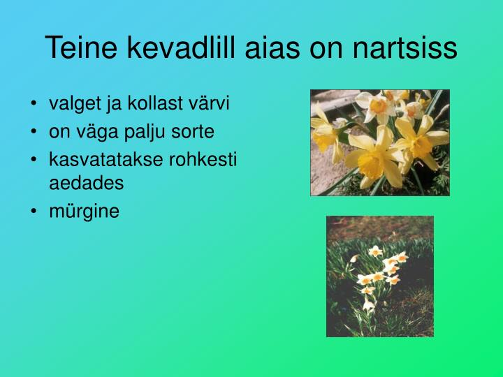 Teine kevadlill aias on nartsiss