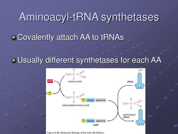 aminoacyl trna synthetase - photo #39
