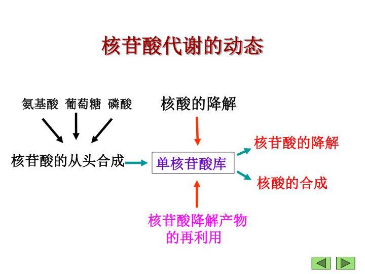 核苷酸代谢的动态