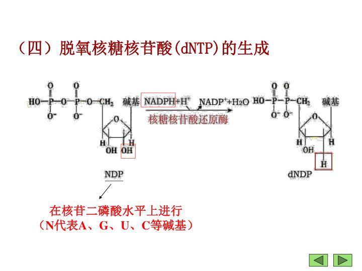 (四)脱氧核糖核苷酸