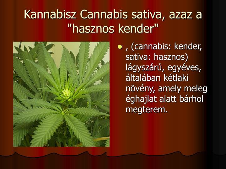 """Kannabisz Cannabis sativa, azaz a """"hasznos kender"""""""