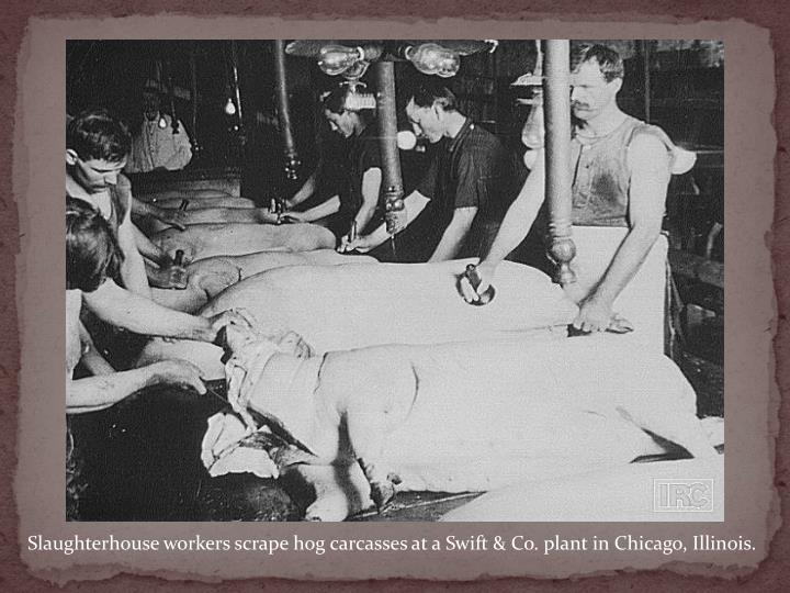 Slaughterhouse workers scrape hog carcasses at a Swift & Co. plant in Chicago, Illinois.