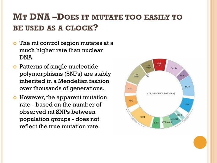 Mt DNA –Does it mutate too easily to be used as a clock?