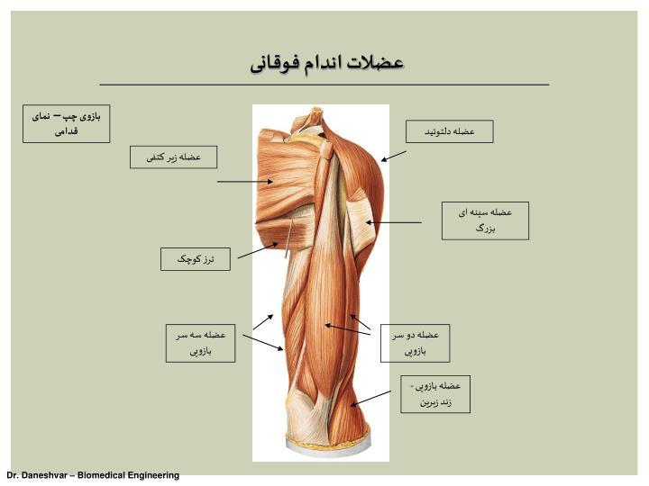 عضلات اندام فوقانی