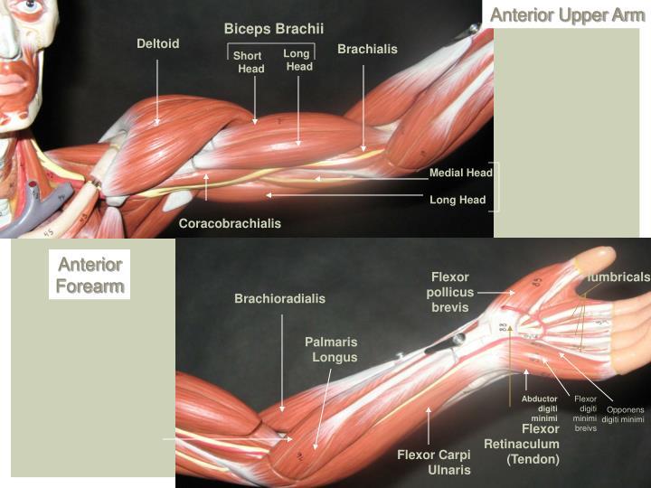 Anterior Upper Arm