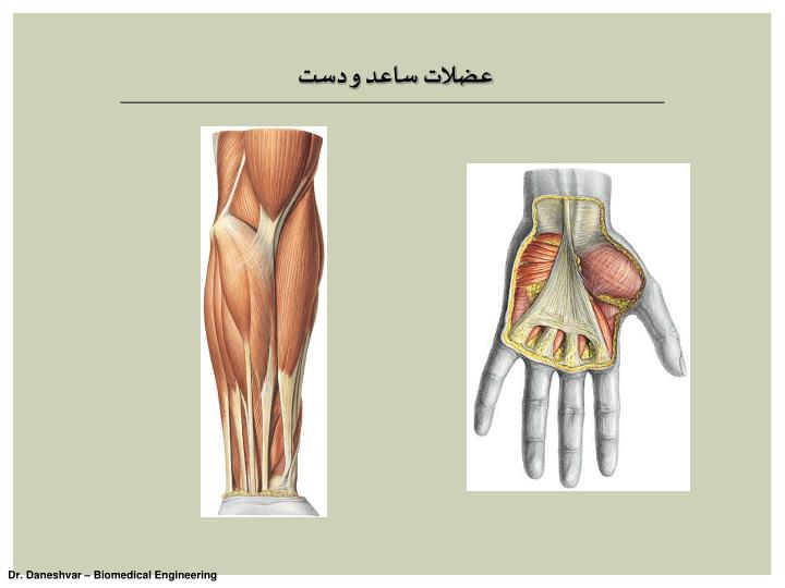 عضلات ساعد و دست