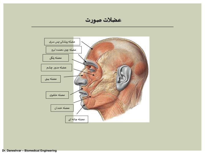 عضلات صورت