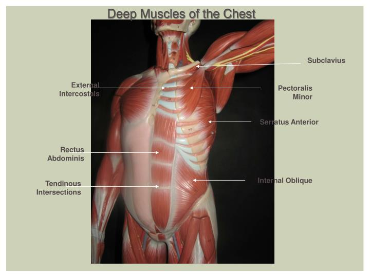Deep Muscles of the Chest
