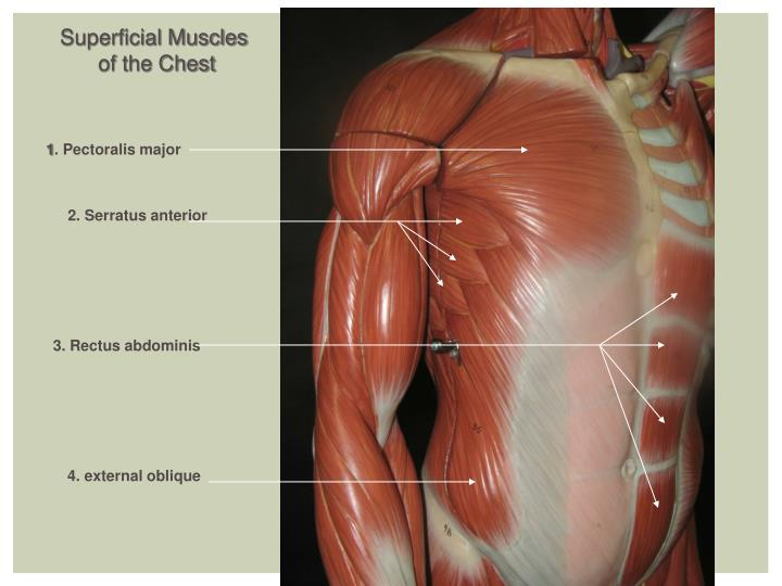 Superficial Muscles