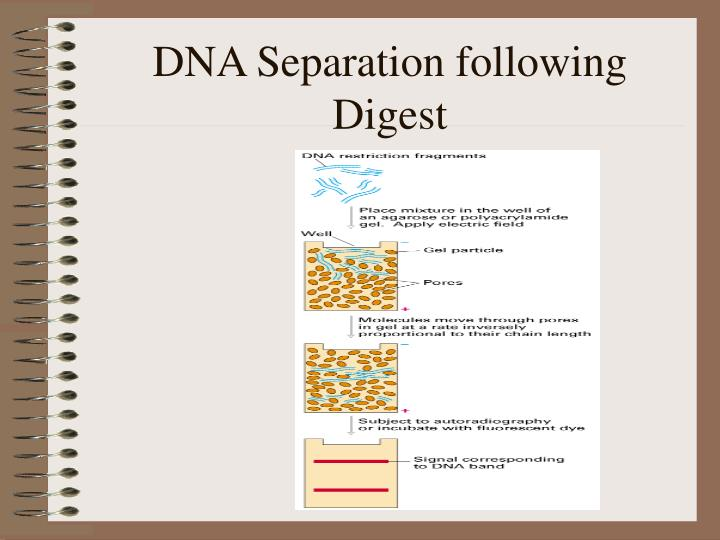 DNA Separation following Digest