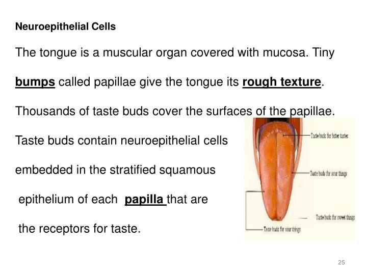 Neuroepithelial Cells