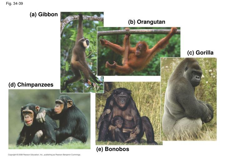 (a) Gibbon