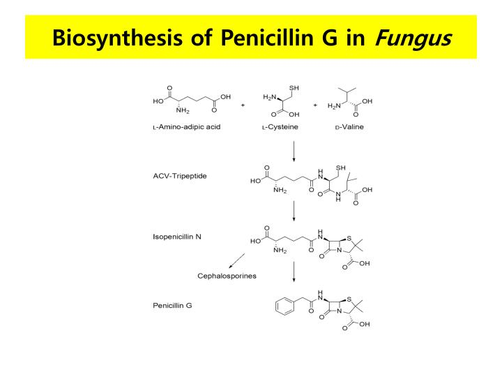 Biosynthesis of Penicillin G in