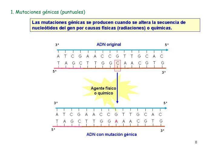 1. Mutaciones génicas (puntuales)