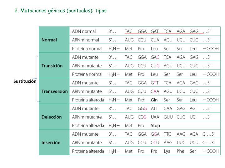 2. Mutaciones génicas (puntuales): tipos
