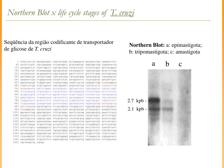 Northern Blot x life cycle stages of