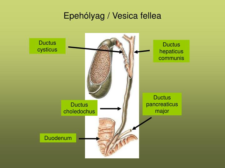 Ductus pancreaticus