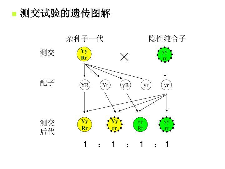 测交试验的遗传图解